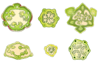 Cross-sections of orchid capsules showing the longitudinal slits Kapselquerschnitte Orchideen.png