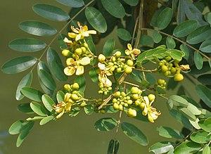 Senna siamea - Image: Kassod (Senna siamea) flowers W IMG 0540