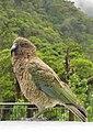 Kea (Nestor notabilis) -New Zealand-8.jpg