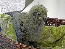 Kea - Wikipedia