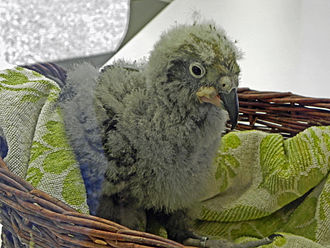 Kea - Kea chick, Walsrode Bird Park, Germany