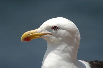 Kelp gull - Image: Kelp Gull Gaviota Dominicana Larus Dominicanus