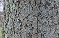 Kentucky Coffee Tree Gymnocladus dioicus Horizontal Bark.JPG