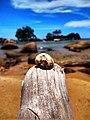 Kerang di atas kayu pantai temajuk.jpg