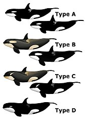 "Image result for ""type D"" killer whales off South Georgia island"