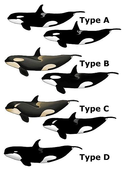 File:Killer Whale Types.jpg