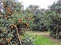 Kinnow Orchard - panoramio (6).jpg