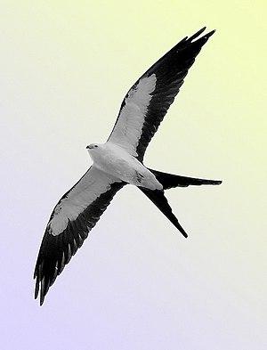 Swallow-tailed kite - Image: Kite 1a