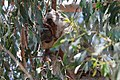 Koala (24090656230).jpg