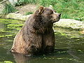 Kodiak bear ursus.JPG