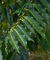 Kona coffee leaves (Kona Coffee Living History Farm).jpg