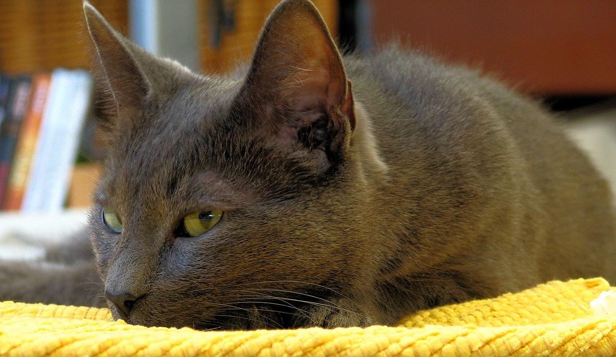 K Battle Korat Lijst van kattenrassen...