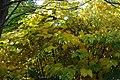 Korina 2013-10-19 Fallopia japonica 4.jpg
