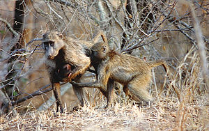 Chacma baboon - Chacma baboons have been observed to adopt orphaned young.