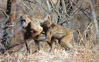 Chacma baboon - Chacma baboons have been observed to adopt orphaned young