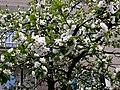 Kwitnąca czereśnia - panoramio.jpg