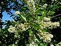 Kwitnący krzew - panoramio.jpg