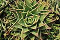 La Palma - Barlovento - Calle La Fajana - Aloe perfoliata 04 ies.jpg