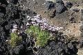 La Palma - Villa de Mazo - La Salemera - Lugar Playa La Salemera - Limonium pectinatum 02 ies.jpg