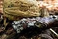 Lachnella alboviolascens.jpg