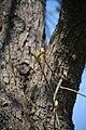 Lainzer Tiergarten März 2014 Rosskastanie 1.jpg