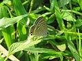 Lampides boeticus - Pea Blue at Aralam Wildlife sanctuary during Aralam butterfly survey 2020 (17).jpg