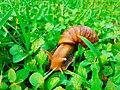 Land snail in sri lanka.jpg