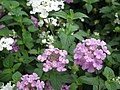Lantana from Lalbagh flower show Aug 2013 8040.JPG
