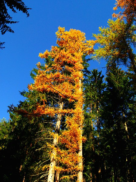 File:Larch Tree - panoramio.jpg