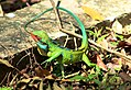 Large-scaled forest lizard.jpg