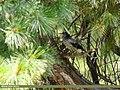 Large-spotted Nutcracker (Nucifraga multipunctata) (35549514674).jpg