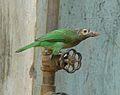 Large Green Barbet.jpg