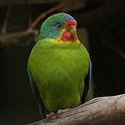A green parrot with blue shoulders, a blue-green head, a blue forehead, and a red mark above and below the beak