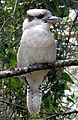 Laughing Kookaburra Looking Right.JPG