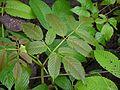 Leea asiatica (3710427336).jpg