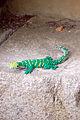 Legoland Windsor - Lizard (2835912670).jpg