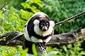 Lemur (24676940768).jpg