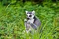 Lemur (36499755833).jpg
