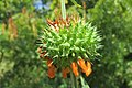 Leonotis nepetifolia - Lion's Ear at Theni (5).jpg