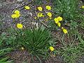 Leontodon saxatilis plant2 (14629581401).jpg