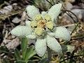 Leontopodium nivale (alpinum) (35724066520).jpg