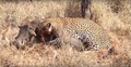 Leopard eats alive Warthog ✰Amaizing Video HD 6.png