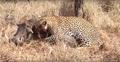 Leopard eats alive Warthog ✰Amaizing Video HD 6.png