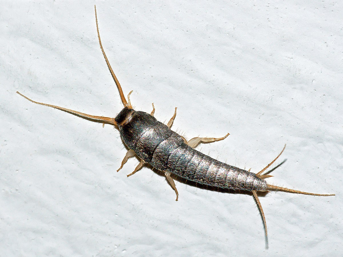 Silverfish - Wikipedia