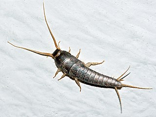 Silverfish Species of insect in the order Zygentoma