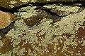 Lepraria membranacea 62549620.jpg