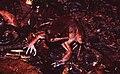 Leptodactylus rhodomystax02.jpg