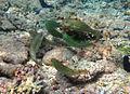 Leptoscarus vaigiensis mâles (avec la bande latérale blanche) et femelles.jpg