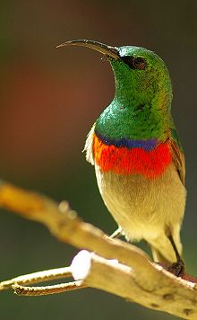 Lesser Double-collared sunbird.jpg