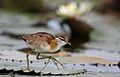 Lesser Jacana, Microparra capensis, Chobe River, Botswana (32213988275).jpg